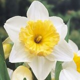 50 Large Cup Daffodil Narcissus Ice Follies Bulbs
